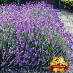 """Lavendel-Hecke """"Blau"""",9 Pflanzen                                                                                                                                                                                 Mehr"""