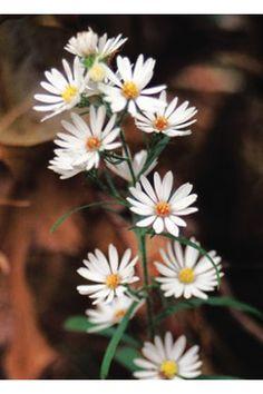 Oligoneuron album - White Aster at Wildflower Farm