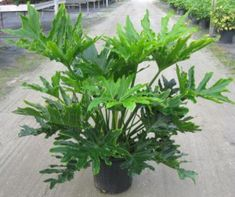 Selloum Philodendron is the common name of this striking tropical plant. The Selloum has very large showy leaves, grows very quickly and is easy to care for.
