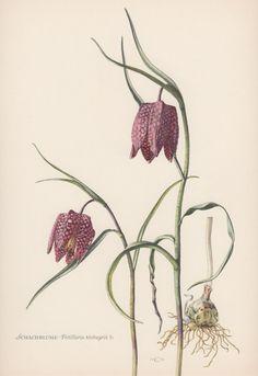 1950's Vintage Botanical Print Fritillaria by AntiquePrintGarden