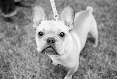 Our French Bulldog/Boston Terrier mix, Axel | Photo by Emma Freeman Photography