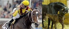 Most horses that run (and win) in the triple-crown races - Kentucky Derby, Preakness Stakes, Belmont Stakes - are colts. Colts are male horses under the age of four. Past four, male (adult) horses ...
