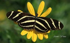 I ❤ butterflies . . . The zebra pattern is quite common among some butterflies, as the visual effect is maximized by the contrast between black and white.