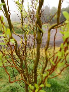 curly willow...my favorite small wild tree.