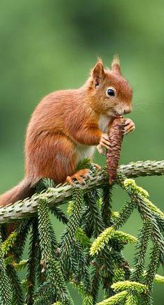 Euro.Squirrel