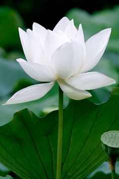 As great as the infinite space beyond is the space within the lotus of the heart. Both heaven and earth are contained in that inner spac. Lotus Flower Pictures, Lotus Flower Art, White Lotus Flower, Lotus Garden, Lotus Plant, Beautiful Mind, Beautiful Flowers, Aquatic Plants, Water Plants