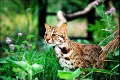 September 28, 2013 - TAIPEI, Taiwan -- After successfully assisting the delivery of a pair of leopard cat twins in March, the Endemic Species Research Institute (ESRI), located in Jiji Township, Nantou County yesterday staged a seminar on topics related to the preservation and protection of native leopard cat populations in Taiwan.