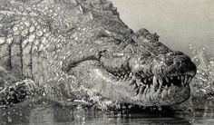 Crocodile pencil drawing  by Kevin Hayler