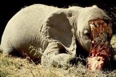 ABORDONS MAINTENANT CE QUI NOUS PREOCUPE AU SUJET DU MASSACRAGE DES ELEPHANTS A CAUSE DE LEURS BELLES DEFENSES EN IVOIRE. MALGRE L INSTAURATION DE L INTERDICTION DU COMMERCE DE L IVOIRE IL Y A 20 ANS, ...