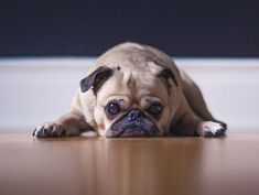 Cute, compact and a little bit clownish, the Pug is a beloved dog breed with distinct features and lots of personality. So what exactly is the Pug price? Pug Love, I Love Dogs, Cute Puppy Breeds, American Animals, Smiling Dogs, Coton De Tulear, Dogs Of The World, Dog Names, Pug Dogs