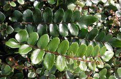 Buy button fern Pellaea rotundifolia: Delivery by Crocus