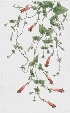 Bobbi Angell - Botanical Illustrator/tobacco plant