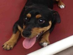 *FRED - ID#A693096    Shelter staff named me FRED.    I am a neutered male, black and brown Dachshund mix.    The shelter staff think I am about 1 year old.    I have been at the shelter since Jan 08, 2013.