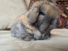 Gio's Holland Lop of Utah