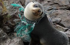 There are an estimated 270,000 tons of plastic floating on the surface of the ocean and according to a new study authored by researchers at Plymouth University found, a staggering 700 different marine species are threatened by its presence.