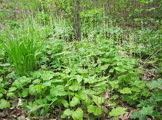 "Woodland native plant- Mitella diphylla (""Bishops cap"")"