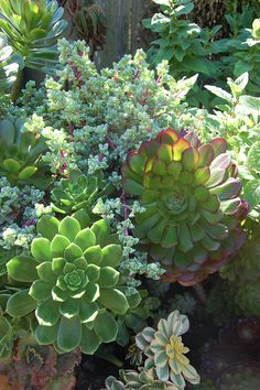 You gotta love Oscularia deltoides (the frosty blue guy crawling around in the Aeoniums) Love it!