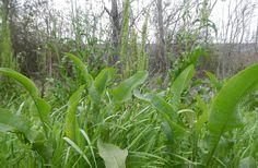 Please eat the dandelions: 9 edible garden weeds : TreeHugger