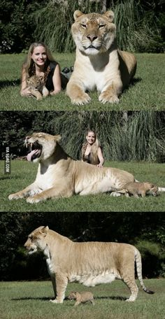The worlds largest Liger