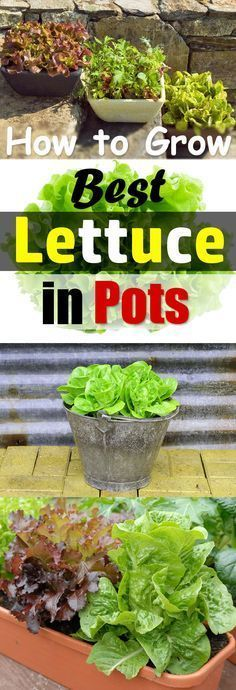 Growing lettuce in containers is fun and easy and you can harvest fresh, crispy, and organic lettuce leaves for your salads in no time. Grow Lettuce Indoors, How To Grow Lettuce, Planting Lettuce In Containers, Herbs In Containers, Organic Container Gardening, Container Gardening Vegetables, How To Harvest Lettuce, Organic Fertilizer For Vegetables, Indoor Vegetable Gardening