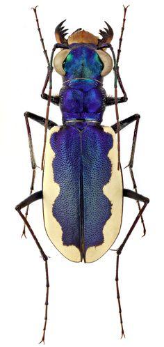 Cephalota galatea