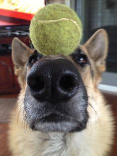 German shepherd... balancing act!