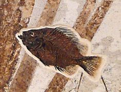 Fossil fish, Asineops squamifrons in palm  Wyoming, approximately 50 million…