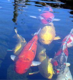 Aquaponics Home Aquarium Best Fish For Aquaponics, Indoor Aquaponics, Hydroponics, Goldfish Pond, Carpe Koi, Home Aquarium, Japanese Koi, Koi Carp, Animales