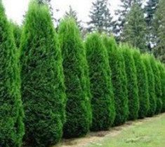 These stunning plants work hard to create outdoor privacy. These outdoor privacy plants are easy to manage, and a great addition to your yard. Try these plants for outdoor privacy! Privacy Landscaping, Backyard Privacy, Garden Landscaping, Landscaping Ideas, Arborvitae Landscaping, Outdoor Privacy, Backyard Trees, Farmhouse Landscaping, Rustic Backyard