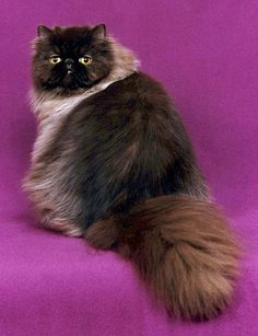 Cats know they are awesome, from an article on Persian cats