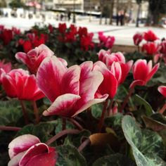 https://flic.kr/p/r5Xehn | Flowers in Syntagma Square.. This famous square is where they voted on the Greece constitution in 1843.. #upsticksandgo #syntagmasquare #history #flowers #naturephoto #athens #greece #travelgram #travelphotos #travellingtheworld #michfrost