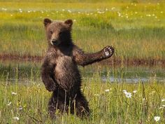 """Welcome Bear"" by Chris Sherman: Saw this little guy on one of our hikes in Katmai National Park guided by Brad Josephs of Natural Habitat Adventures."