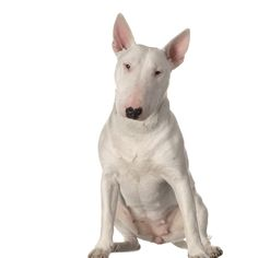 Breeder Buzzwords – The Bull Terrier    By Dan Sayers