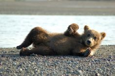 grizzly bear cub, aww I kinda want one! lol