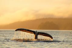 Humpback Whale Tail: Orca Dreams offers kayaking, whale watching and luxury camping on Compton Island, Blackney Pass, British Columbia