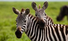 20 Things You Didn't Know About Zebras