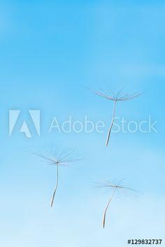 Aller guten Dinge sind drei - Freiheit, Samen einer Pusteblume vor blauem Himmel, fliegen, Symbol für Leichtigkeit, Mobilität, Fortpflanzung, Startup, Zukunft, Tragopogon pratensis