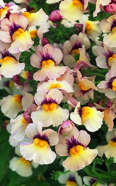 Densely branching upright plant with peach, cream, pink, orange and purple flowers. Shade Flowers, Purple Flowers, Gravel Garden, Garden Plants, Nemesia Flowers, Planting, Gardening, Flower Identification, Spring Plants