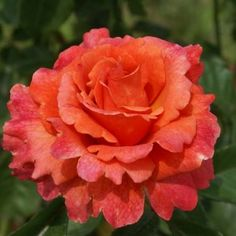 My favorite rose! Easy Does It!