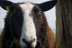 PG Sheep Jokes-Shear Hilarity What do you call a rowdy sheep? Rambunctious!