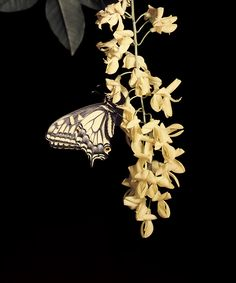 tvod_butterfly