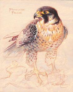 Ezra Tucker - Peregrine Falcon