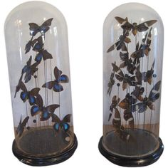 taxidermy butterflies