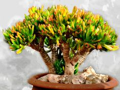 Crassula ovata 'Gollum' is a small evergreen, sparingly branched, shrubby succulent up to 3 feet (90 cm) tall...#crassula #succulentopedia #succulents #CactiAndSucculents #WorldOfSucculents #SucculentLove #succulent #SucculentPlant #SucculentPlants #succulentmania #SucculentLover #SucculentObsession #SucculentCollection #plant #plants #SucculentGarden #garden #DesertPlants #nature Crassula Succulent, Succulent Bonsai, Crassula Ovata, Bonsai Garden, Jade Plants, Big Plants, Agaves, Cacti And Succulents, Planting Succulents