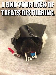 funny guinea pigs memes - Google Search