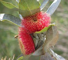 Eucalyptus macrocarpa.jpg