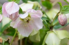These gardening tips for growing Lenten Rose are the BEST! I need some ground cover plants for the shade and these low maintenance perennials will be perfect. Shade Perennials, Flowers Perennials, Planting Flowers, Perrenial Flowers, Flower Gardening, The Animals, Perennial Ground Cover, Ground Cover Plants, Spring Plants