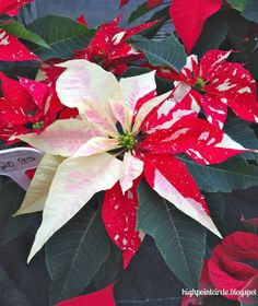 HIGHPOINT CIRCLE: POINSETTIA WONDERLAND