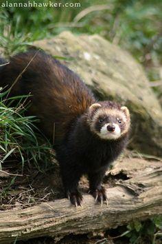 Polecat by Alannah Hawker on Amphibians, Mammals, European Polecat, Cute Ferrets, British Wildlife, Sea And Ocean, Zoology, Marine Life, Nature