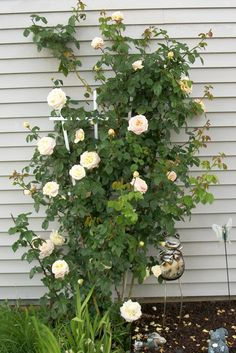 My Climbing Rose Bush